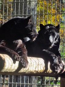 kulaqua-christian-retreat-center-florida-zoo-xena and zorro black-panther