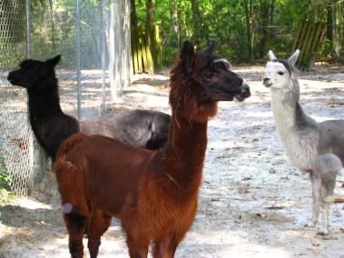 kulaqua retreat conference center zoo nature center alpacas images florida's best christian retreat location kulaqua