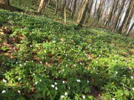 На Львівщині зацвіли ефемероїди, фото Яворівський національний природний парк