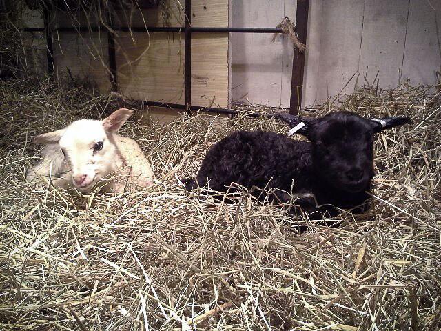 Nu har lammen fått sina öronmärken.