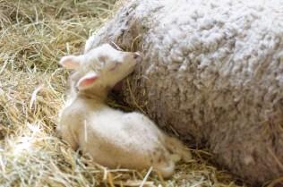 Tackan Mirella med lammen Tess och Talia