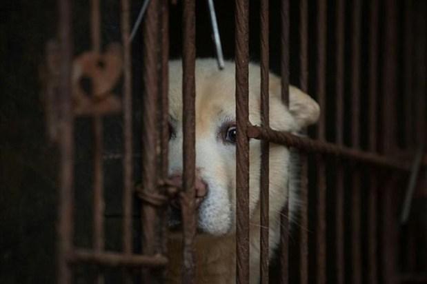 Теперь поедание мяса собак может стоит нарушителю на Тайване 8 000 долларов штрафа. ¦ Фото:  dailymail.co.uk.