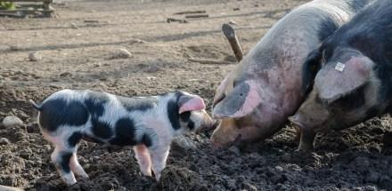 Bentheimer Landschweine leben im Freilichtmuseum am Kiekeberg