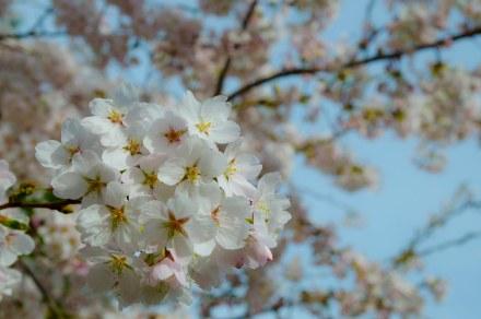 Kirschblüte-0171