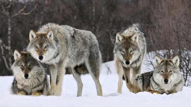Ulveflokk