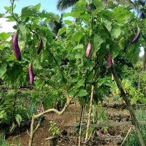 eggplantree_lr