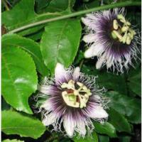 Graines_Passiflora_Edulis_Flavicarpa_Seeds