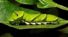 Larva stage