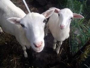 St. Croix hair sheep