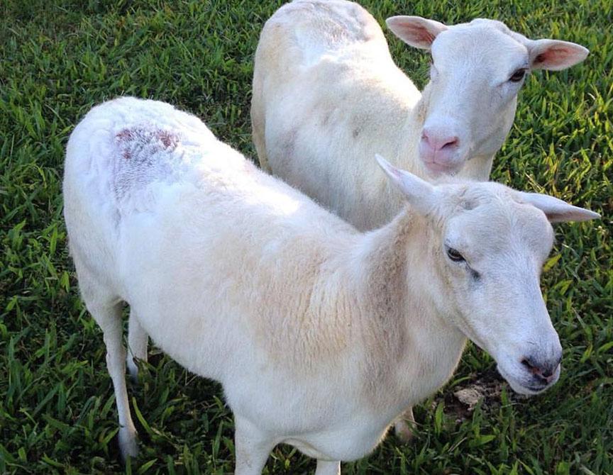 What To Do If Your Sheep Get Fly Strike | Kumu Aina Farm