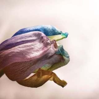 TulpenNr1_klein-1