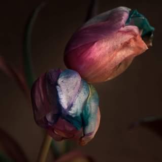 TulpenNr4_klein-1