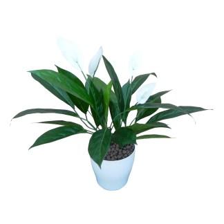 HTT - Kunstplant Spatiphyllum H60cm in Living17 wit - kunstplantshop.nl