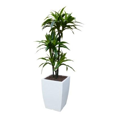 Kunstplant Dracaena met sierpot Genesis36 wit - kunstplantshop.nl