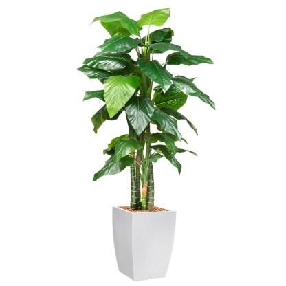 HTT - Kunstplant Philodendron H195cm in Genesis43 wit - kunstplantshop.nl