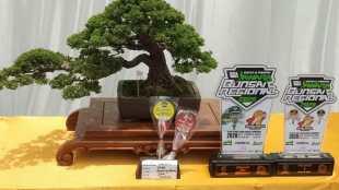 Bonsai peraih predikat juara di perlombaan bonsai di Bendungan, Pagaden Barat, Subang (dok. KM)