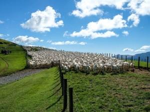 Schafe Bereit Zum Imprägnieren