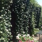 日本一長いつるバラのカーテン アルベリック・バルビエ