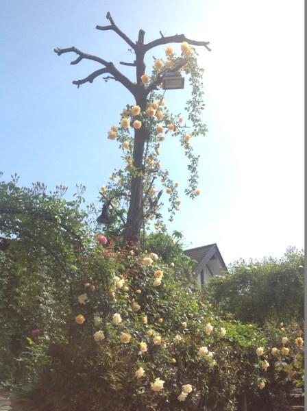 お食事の提供までは、ガーデンを散策してください♪ 独創的なバラの仕立て方を鑑賞することもできるんですよ♪