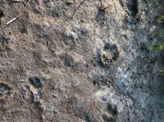 Tracks at the edge of Sir Richard's Pond
