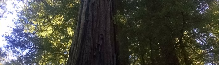 Way Up At A Redwood