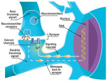 neuronsynapse