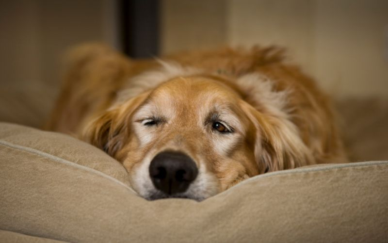 7 jel, amely arra utal, hogy kutyádnak fájdalma van
