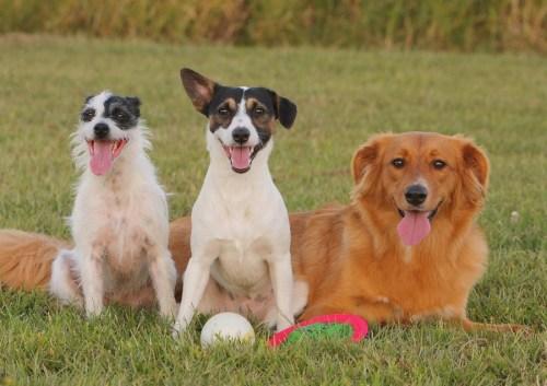 A kutatás szerint a keverék kutyák tanulékonyabbak, ám fajtatiszta társaik kiegyensúlyozottabbak (thefuntimesguide.com)