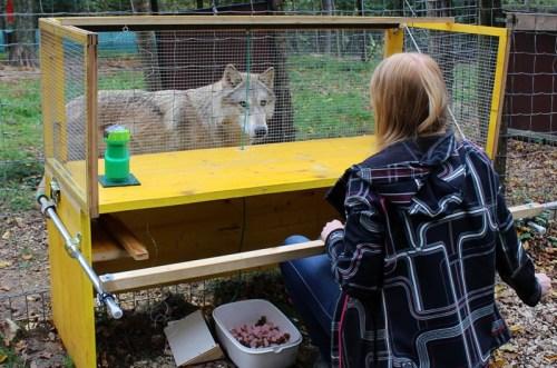 Kutatás - Jobban értik a farkasok az ok-okozati összefüggéseket a kutyáknál