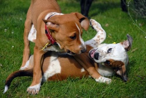 Már kölyökkorban megtanulják a csóválás jelentéseit (Fotó: dogobediencenet.com)