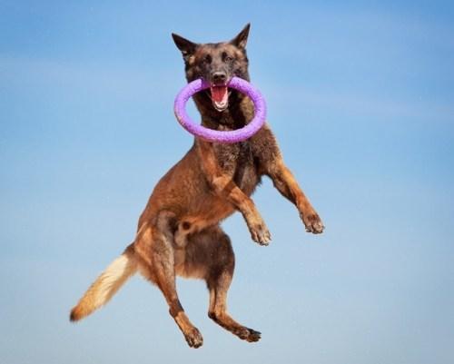 Mozgás közben az egyensúly megtartásában játszik fontos szerepet a farok (Fotó: dogtimes.com)