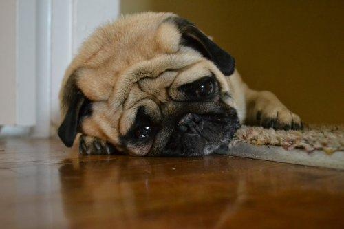 Ha a kutya étvágytalan, levert, szomorú, elbújik, magába fordul, lehet, hogy depresszióval küzd (Fotó: Youtube)