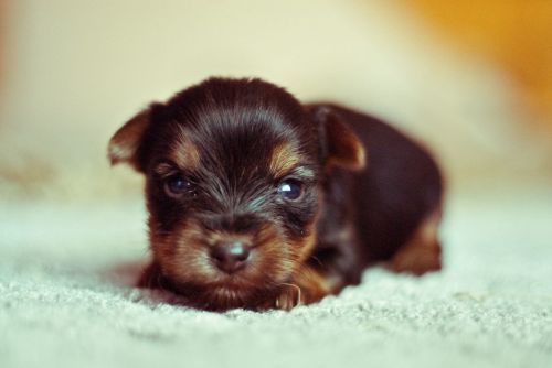 Megfázás kutyáknál - kölyökkorban fokozottabb a veszély