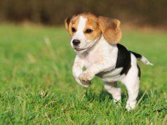 beagle kutya beagle nevek a kedvencednek