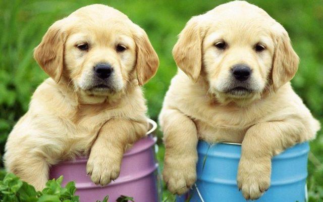 golden retriever kutyák