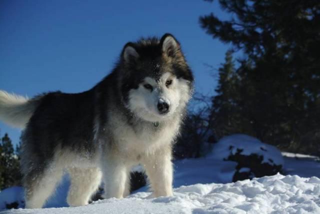 alaszkai malamut hóban