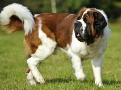 bernáthegyi kutyafajta