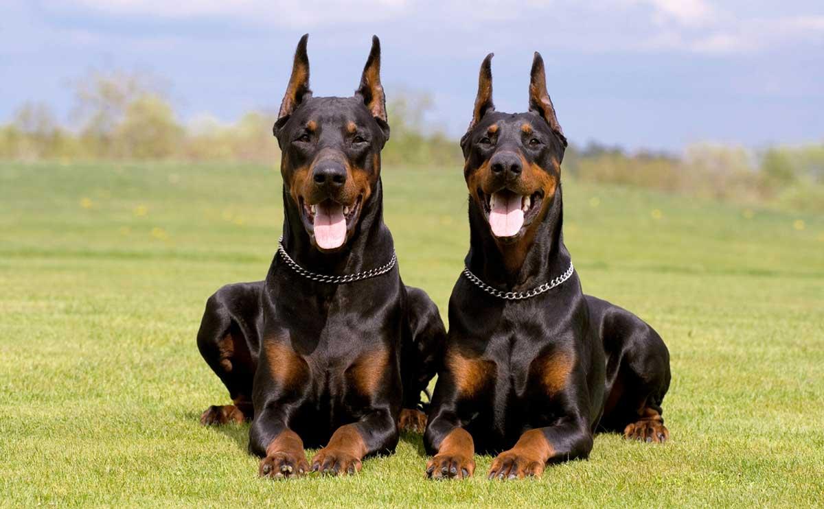 TOP10 - legjobb házőrző kutyák