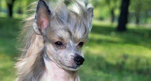 kínai tarajos kutya