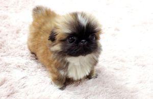 pekingi palotapincsi - pekingi palotakutya kölyök mini kutyafajták képekkel
