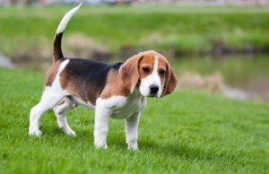 beagle kutya