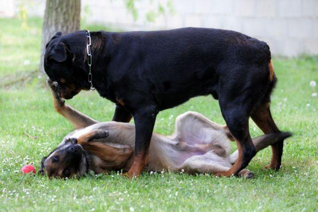 kutya dominancia jelei