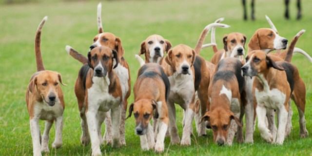angol foxhound