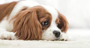 kutya depresszió