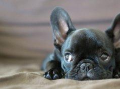 francia bulldog kutyanevek