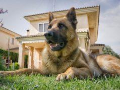 őrző védő kutyák