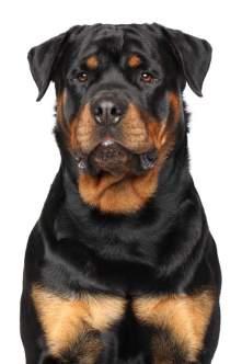 rottweiler kutya