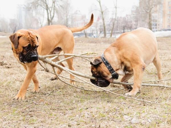 bullmasztiff kutya bottal