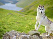szibériai husky kutyafajta