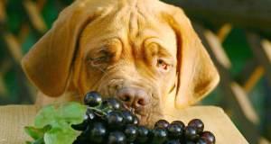 kutya szőlő